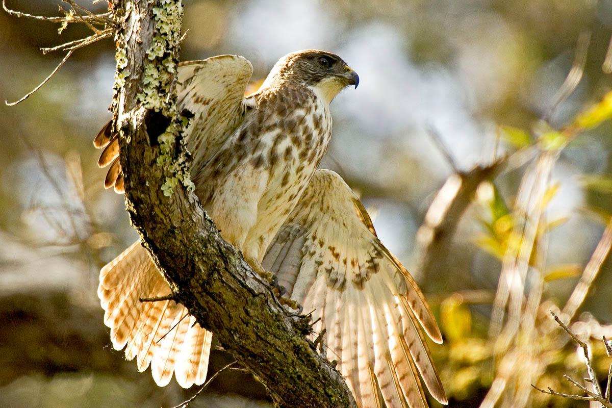 Io Hawaiian Hawk