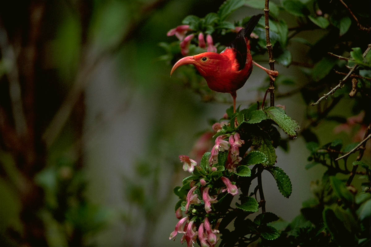IIwi Hawaiian Native Bird