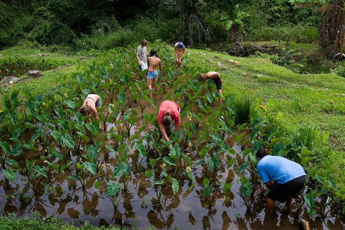Taro Patch Harvest