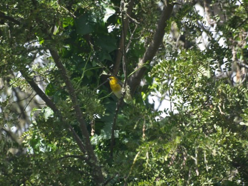 Palila in tree