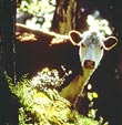 Cow in Forest - Photo credit: Jack Jeffrey