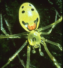 Happy-face spider
