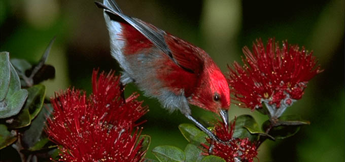 Birders delight!  Hakalau Exclusive provides opportunities for endemic bird encounters.